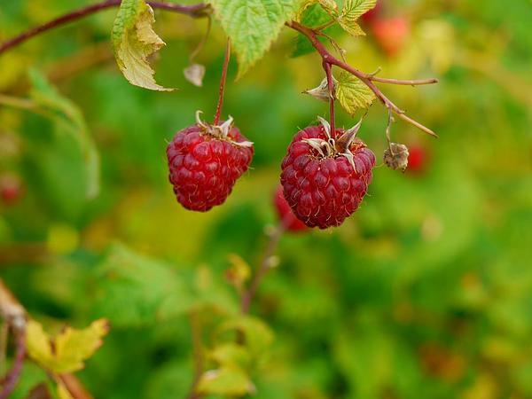 American Red Raspberry (Rubus Idaeus) http://www.sagebud.com/american-red-raspberry-rubus-idaeus