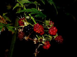 Cutleaf Blackberry