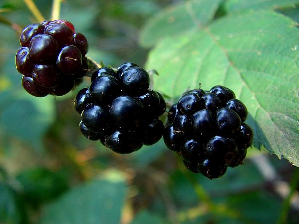 Cutleaf Blackberry (Rubus Laciniatus) http://www.sagebud.com/cutleaf-blackberry-rubus-laciniatus