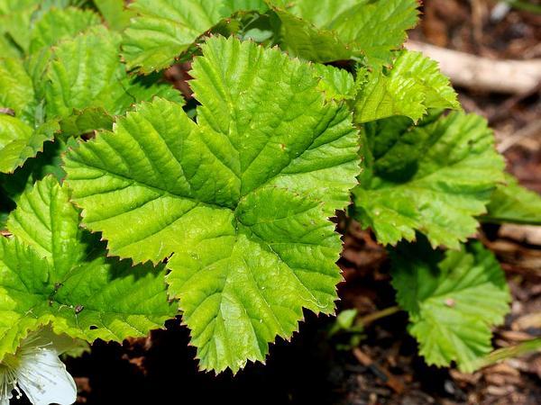 Roughfruit Berry (Rubus Lasiococcus) http://www.sagebud.com/roughfruit-berry-rubus-lasiococcus/