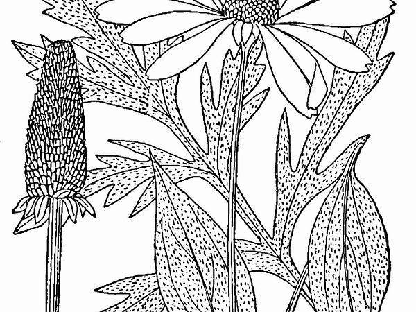 Cutleaf Coneflower (Rudbeckia Laciniata) http://www.sagebud.com/cutleaf-coneflower-rudbeckia-laciniata/