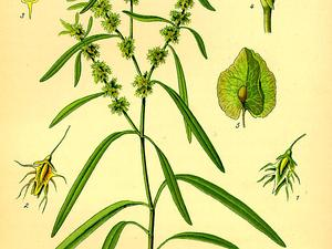 RUMA4/Illustration_Rumex_maritimus0_300.jpg