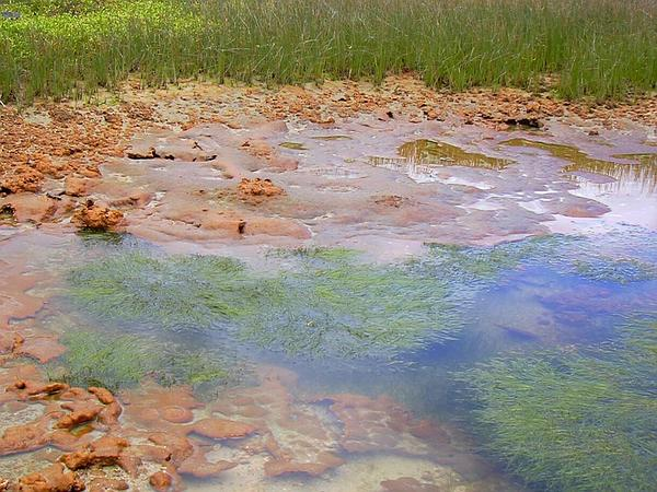 Widgeongrass (Ruppia Maritima) http://www.sagebud.com/widgeongrass-ruppia-maritima/