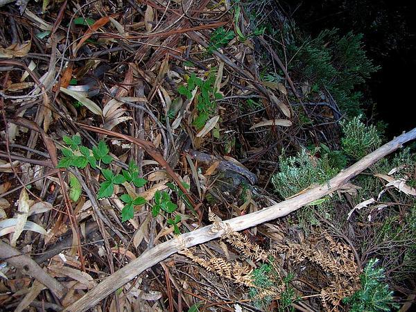 'Akala (Rubus Macraei) http://www.sagebud.com/akala-rubus-macraei/