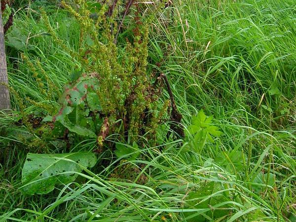 Bitter Dock (Rumex Obtusifolius) http://www.sagebud.com/bitter-dock-rumex-obtusifolius/