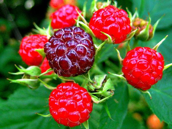 Black Raspberry (Rubus Occidentalis) http://www.sagebud.com/black-raspberry-rubus-occidentalis/