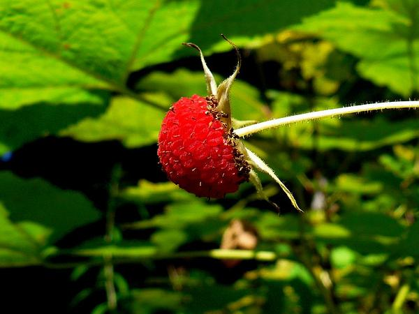 Thimbleberry (Rubus Parviflorus) http://www.sagebud.com/thimbleberry-rubus-parviflorus/