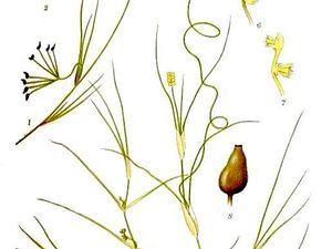 Widgeonweed