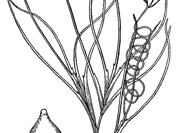 Widgeonweed (Ruppia) http://www.sagebud.com/widgeonweed-ruppia/