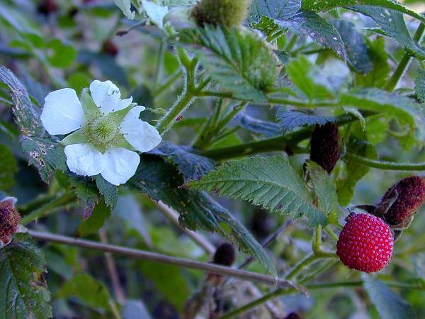 West Indian Raspberry (Rubus Rosifolius) http://www.sagebud.com/west-indian-raspberry-rubus-rosifolius/