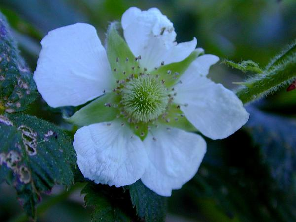 West Indian Raspberry (Rubus Rosifolius) http://www.sagebud.com/west-indian-raspberry-rubus-rosifolius