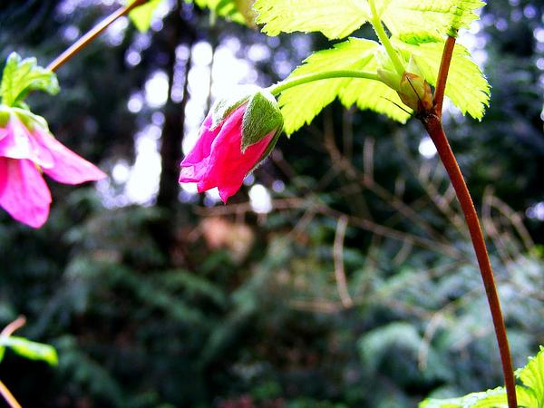 Salmonberry (Rubus Spectabilis) http://www.sagebud.com/salmonberry-rubus-spectabilis