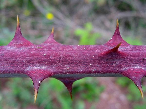 Elmleaf Blackberry (Rubus Ulmifolius) http://www.sagebud.com/elmleaf-blackberry-rubus-ulmifolius