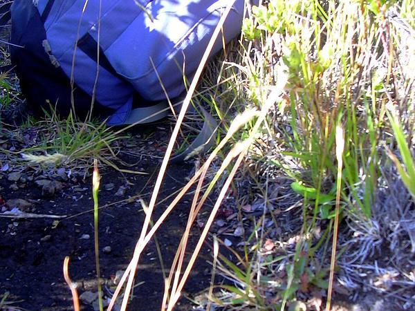 Hairy Wallaby Grass (Rytidosperma Pilosum) http://www.sagebud.com/hairy-wallaby-grass-rytidosperma-pilosum