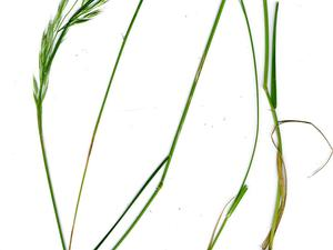 Tasmanian Wallaby Grass