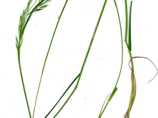 Tasmanian Wallaby Grass (Rytidosperma Semiannulare) http://www.sagebud.com/tasmanian-wallaby-grass-rytidosperma-semiannulare