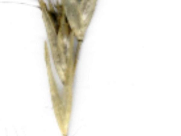 Wallaby Grass (Rytidosperma) http://www.sagebud.com/wallaby-grass-rytidosperma/