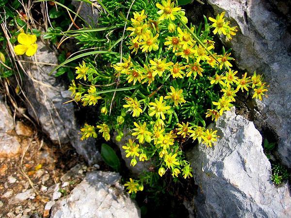 Yellow Mountain Saxifrage (Saxifraga Aizoides) http://www.sagebud.com/yellow-mountain-saxifrage-saxifraga-aizoides