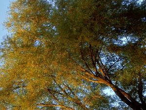 SAAL2/Autumn_tree_300.jpg