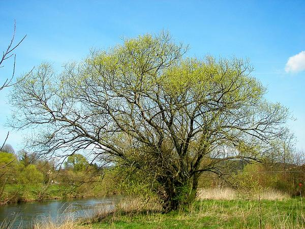 White Willow (Salix Alba) http://www.sagebud.com/white-willow-salix-alba