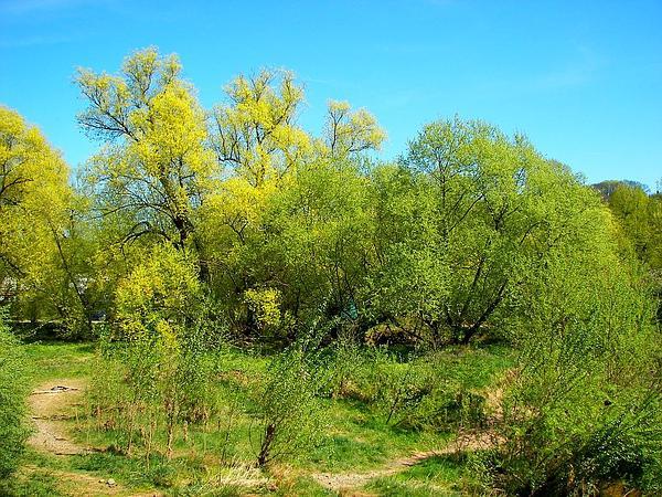 White Willow (Salix Alba) http://www.sagebud.com/white-willow-salix-alba/