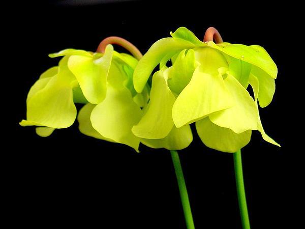 Yellow Trumpets (Sarracenia Alata) http://www.sagebud.com/yellow-trumpets-sarracenia-alata