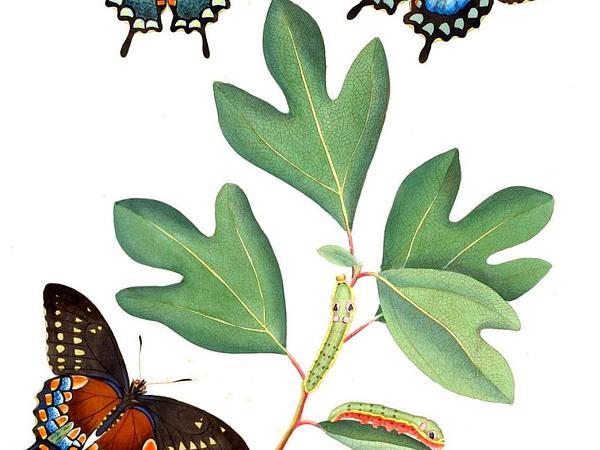 Sassafras (Sassafras Albidum) http://www.sagebud.com/sassafras-sassafras-albidum/