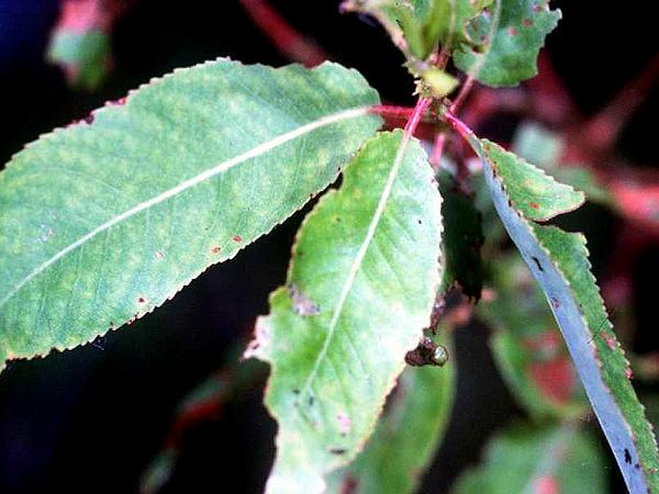 Peachleaf Willow (Salix Amygdaloides) http://www.sagebud.com/peachleaf-willow-salix-amygdaloides