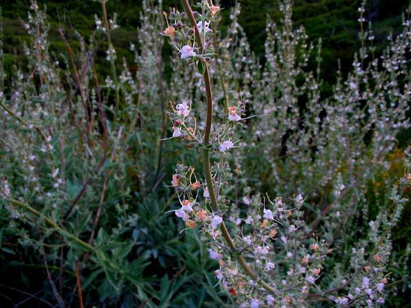 White Sage (Salvia Apiana) http://www.sagebud.com/white-sage-salvia-apiana