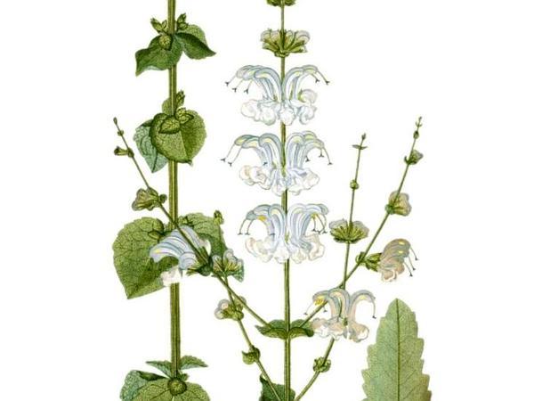 Silver Sage (Salvia Argentea) http://www.sagebud.com/silver-sage-salvia-argentea