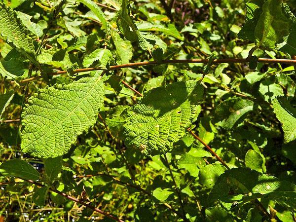 Eared Willow (Salix Aurita) http://www.sagebud.com/eared-willow-salix-aurita