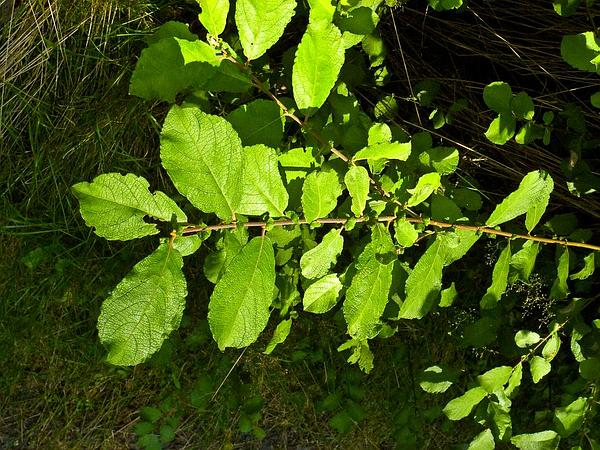 Eared Willow (Salix Aurita) http://www.sagebud.com/eared-willow-salix-aurita/
