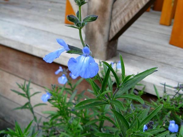 Azure Blue Sage (Salvia Azurea) http://www.sagebud.com/azure-blue-sage-salvia-azurea
