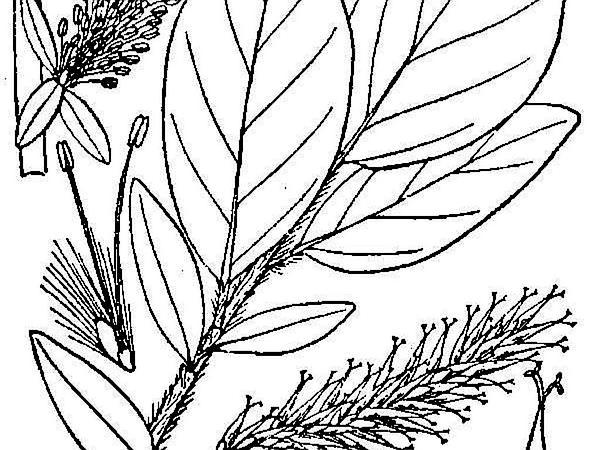 Barclay's Willow (Salix Barclayi) http://www.sagebud.com/barclays-willow-salix-barclayi/