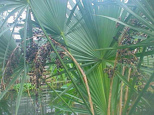 Palmetto (Sabal) http://www.sagebud.com/palmetto-sabal