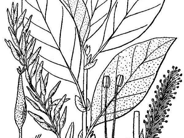 Bebb Willow (Salix Bebbiana) http://www.sagebud.com/bebb-willow-salix-bebbiana