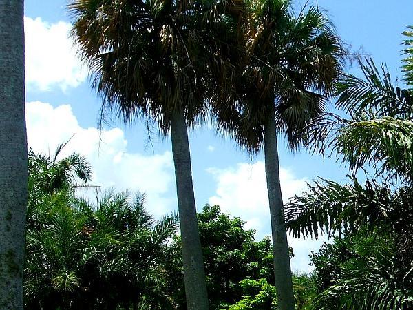 Puerto Rico Palmetto (Sabal Causiarum) http://www.sagebud.com/puerto-rico-palmetto-sabal-causiarum