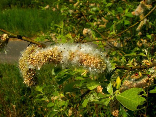 Goat Willow (Salix Caprea) http://www.sagebud.com/goat-willow-salix-caprea/