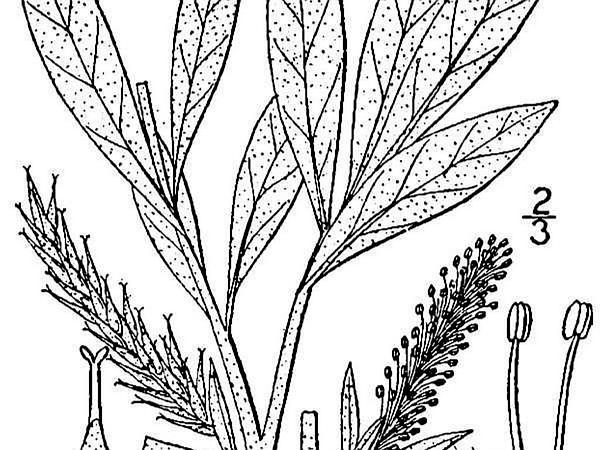 Sageleaf Willow (Salix Candida) http://www.sagebud.com/sageleaf-willow-salix-candida/