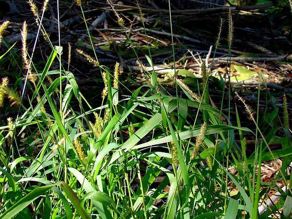 Cupscale Grass (Sacciolepis) http://www.sagebud.com/cupscale-grass-sacciolepis/