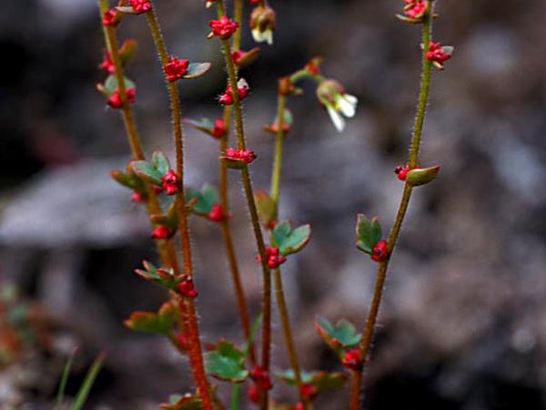 Nodding Saxifrage (Saxifraga Cernua) http://www.sagebud.com/nodding-saxifrage-saxifraga-cernua