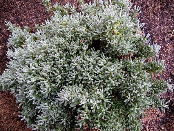 Lavender Cotton (Santolina Chamaecyparissus) http://www.sagebud.com/lavender-cotton-santolina-chamaecyparissus/