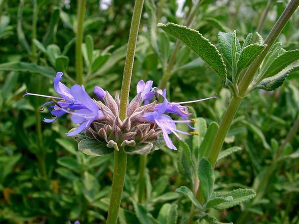 Fragrant Sage (Salvia Clevelandii) http://www.sagebud.com/fragrant-sage-salvia-clevelandii
