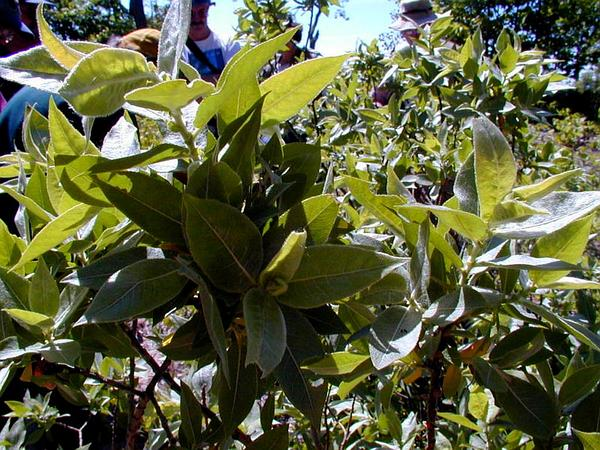 Heartleaf Willow (Salix Cordata) http://www.sagebud.com/heartleaf-willow-salix-cordata