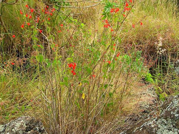 Blood Sage (Salvia Coccinea) http://www.sagebud.com/blood-sage-salvia-coccinea