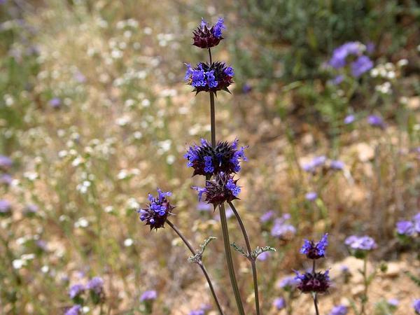 Chia (Salvia Columbariae) http://www.sagebud.com/chia-salvia-columbariae