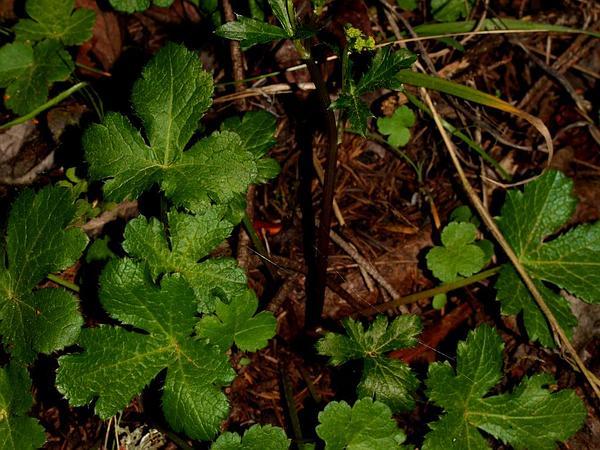 Pacific Blacksnakeroot (Sanicula Crassicaulis) http://www.sagebud.com/pacific-blacksnakeroot-sanicula-crassicaulis