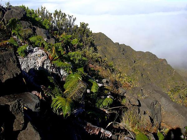 Amaumau Fern (Sadleria Cyatheoides) http://www.sagebud.com/amaumau-fern-sadleria-cyatheoides