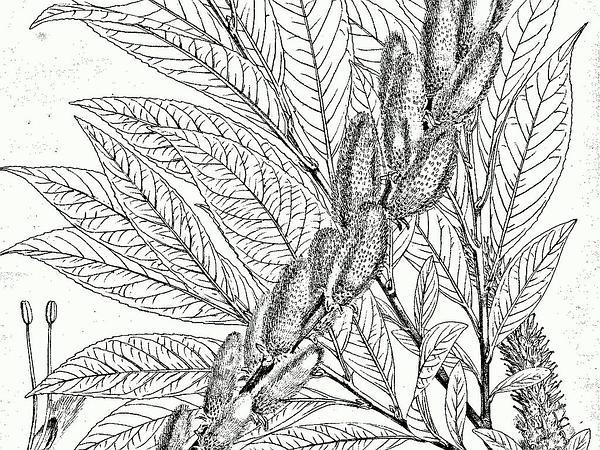 Daphne Willow (Salix Daphnoides) http://www.sagebud.com/daphne-willow-salix-daphnoides
