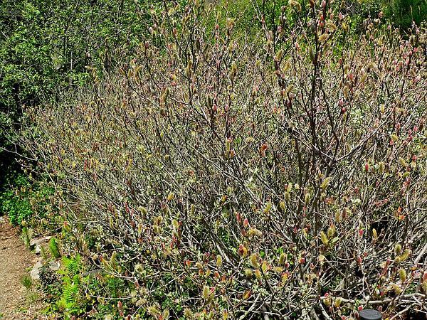 Del Norte Willow (Salix Delnortensis) http://www.sagebud.com/del-norte-willow-salix-delnortensis/